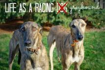 life-as-a-racing-dog-_-pin